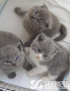 英短小猫咪送养,限有能够好好照料猫咪一生爱猫人士
