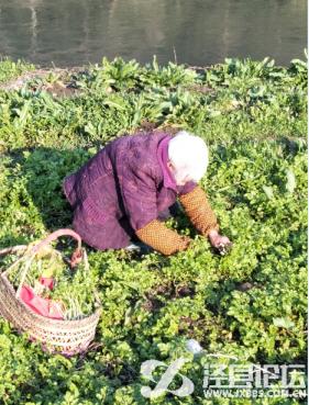 挖野菜的老媪