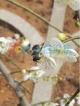 春花绽放蜂自来